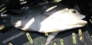 Bream caught at Bamba Zonke